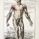 Skeletal muscle protein metabolism in the elderly