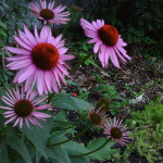Echinacea Purpurea, Pallida and Angustifolia